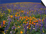 Poppies and Lupine, Los Angeles County, California, USA Prints by Art Wolfe