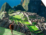 Llama, Machu Picchu, Peru Print by Miva Stock