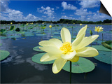 American Lotus, Welder Wildlife Refuge, Rockport, Texas, USA Art by Rolf Nussbaumer