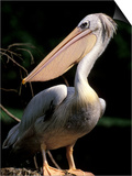White Pelican, Everglades, Florida, USA Art by Gavriel Jecan