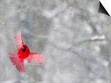 Male Cardinal With Wings Spread, Indianapolis, Indiana, USA Prints by Wendy Kaveney