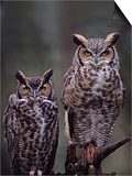 Charles Sleicher - These Great Horned Owls, Washington, USA Umění