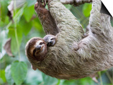 Brown-Throated Sloth and Her Baby Hanging from a Tree Branch in Corcovado National Park, Costa Rica Prints by Jim Goldstein