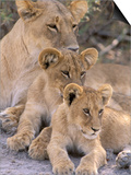 Lioness and Cubs, Okavango Delta, Botswana Poster di Pete Oxford