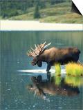 Bull Moose Wading in Tundra Pond, Denali National Park, Alaska, USA Art by Hugh Rose