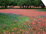 Indian Paint Brush, Hill Country, Texas, USA Prints by Alice Garland