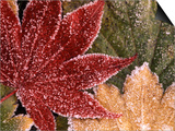 Frosted Maple Leaves, Oregon, USA Poster by Stuart Westmorland