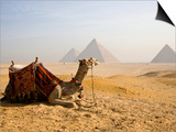 Lone Camel Gazes Across the Giza Plateau Outside Cairo, Egypt Posters by Dave Bartruff