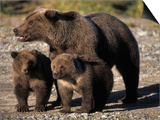Brown Bear Sow with Cubs Looking for Fish, Katmai National Park, Alaskan Peninsula, USA Art by Steve Kazlowski