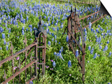 Bluebonnets and Phlox, Hill Country, Texas, USA Poster by Alice Garland