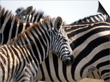 Black and White Stripe Pattern of a Plains Zebra Colt, Kenya Posters by William Sutton