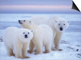Polar Bear Sow with Cubs, Arctic National Wildlife Refuge, Alaska, USA Posters by Steve Kazlowski