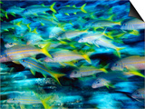 Grunts in Motion, Abacos, Bahamas Prints by Stuart Westmoreland