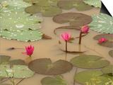Lotus Flower, Ayuthaya, Thailand Prints by Gavriel Jecan