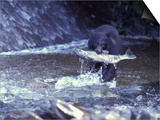 Black Bear Holds Chum Salmon, near Ketchikan, Alaska, USA Posters by Howie Garber