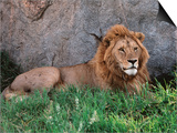 Portrait of Male African Lion, Tanzania Kunstdrucke von Dee Ann Pederson