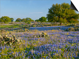 Bluebonnets and Oak Tree, Hill Country, Texas, USA Prints by Alice Garland
