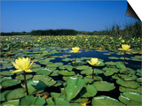 Yellow Waterlily, Welder Wildlife Refuge, Sinton, Texas, USA Posters by Rolf Nussbaumer