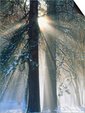 Sun Rays Streaming Through Snow Covered Trees, Yosemite National Park, California, USA Prints by Christopher Bettencourt