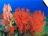 Brilliant Red Sea Fans, Komba Island, Flores Sea, Indonesia Reprodukcje autor Stuart Westmorland