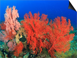 Brilliant Red Sea Fans, Komba Island, Flores Sea, Indonesia Prints by Stuart Westmorland