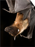 Giant Fruit Bat Posters by Joe McDonald