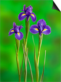 Iris Flowers Prints by Adam Jones