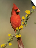 Northern Cardinal on Blooming Huisache, Lake Corpus Christi, Texas, USA Posters by Rolf Nussbaumer