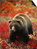 Grizzly Bear Standing Amongst Alpine Blueberries, Denali National Park, Alaska, USA Poster by Hugh Rose