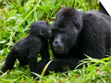 Infant Mountain Gorilla Leans in to Kiss Silverback, Bwindi Impenetrable National Park, Uganda Kunst af Paul Souders