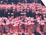 Lesser Flamingos, Lake Nakuru, Kenya Posters by Charles Sleicher