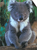 Koala, Australia Prints by John & Lisa Merrill