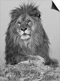African Lion, Bozeman, Montana, USA Posters by Joe & Mary Ann McDonald