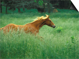 Young Stallion Runs Through a Meadow of Tall Grass, Montana, USA Art by Gayle Harper