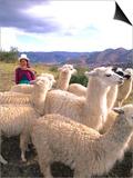 Inca Woman in Costume with Llamas, Cuzco, Peru Poster von Bill Bachmann