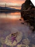 Purple Sea Star (Asterias Ochracea) and Lions Gate Bridge, Stanley Park, British Columbia, Canada Prints by Paul Colangelo
