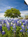 Texas Bluebonnets and Oak Tree, Texas, USA Posters af Julie Eggers