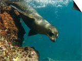 Galapagos Sealion, Gardner Bay, Española Island, Galapagos Islands, Ecuador Reprodukcje autor Pete Oxford