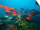 Shoals of Common Bigeye and Tropical Fish, Manta Reef, Jangamo Beach, Guinjata Bay, Mozambique Posters by Paul Souders
