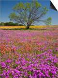 Spring Mesquite Trees Growing in Wildflowers, Texas, USA Posters af Julie Eggers
