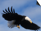 Bald Eagle Flying with a Fish, Kachemak Bay, Alaska, USA Prints by Steve Kazlowski