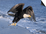 Bald Eagle in Flight with Fish in Kachemak Bay, Alaska, USA Poster by Steve Kazlowski