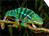 Rainbow Panther Chameleon, Fucifer Pardalis, Native to Madagascar Print by David Northcott