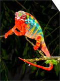 Rainbow Panther Chameleon, Fucifer Pardalis, Native to Madagascar Prints by David Northcott