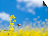 Bee and Field Mustard, Brassica Campestris, Lafayette Reservoir, Lafayette, California, Usa Poster by Paul Colangelo