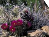Strawberry Hedgehog, Saguaro National Park, Arizona, USA Posters by Kristin Mosher
