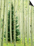 Silver FIr in Aspen Grove, White River National Forest, Colorado, USA Posters by Charles Gurche