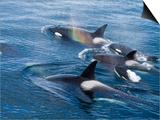 Orca, Frederick Sound, Alaska, USA Posters by Joe & Mary Ann McDonald