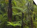 Manginangina Kauri Walk, Puketi Forest, Near Kerikeri, Northland, North Island, New Zealand Prints by David Wall