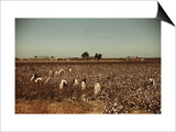 African American Day Laborers Picking Cotton Near Clarksdale, Mississippi, November 1939 Posters by Marion Post Wolcott